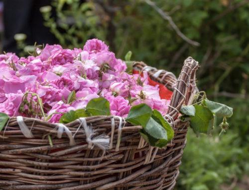 Импотенцию лечит розовое масло Болгарии