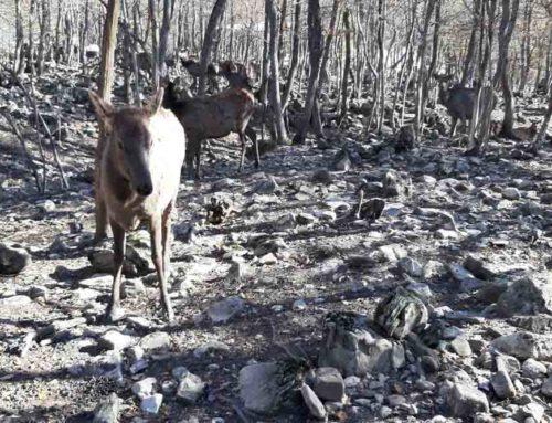 Панты оленей от синдрома усталости и для крепких сосудов в Азербайджане